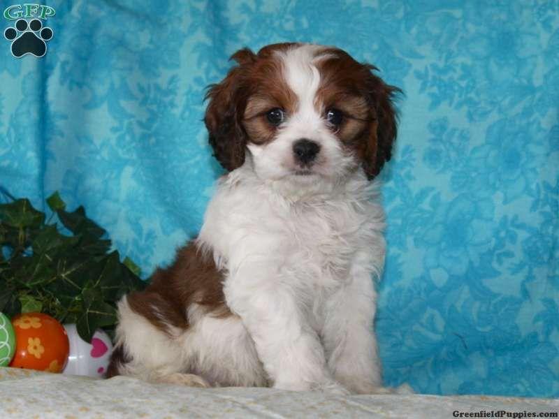 Donald Cavachon Puppy For Sale From Quarryville Pa Cavachon