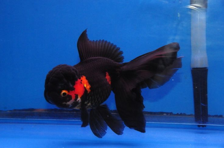 Lionhead Oranda Tri Color Oranda Dandyorandas Com Goldfish Pinterest Auction Goldfish Tank Cute Fish Oranda Goldfish