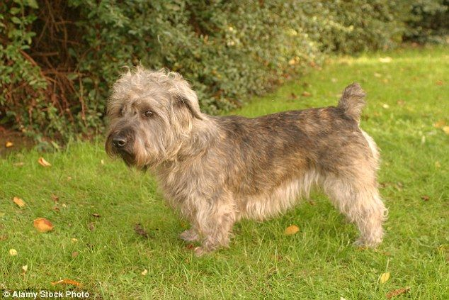 Hounded Out They Re Classic British Dog Breeds Facing Extinction British Dog British Dog Breeds Dog Breeds