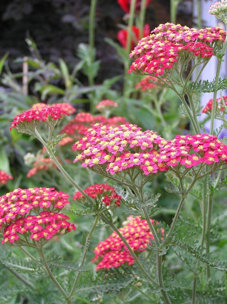 Achillea Millefolium Common Yarrow Tuin Voortuin Idee