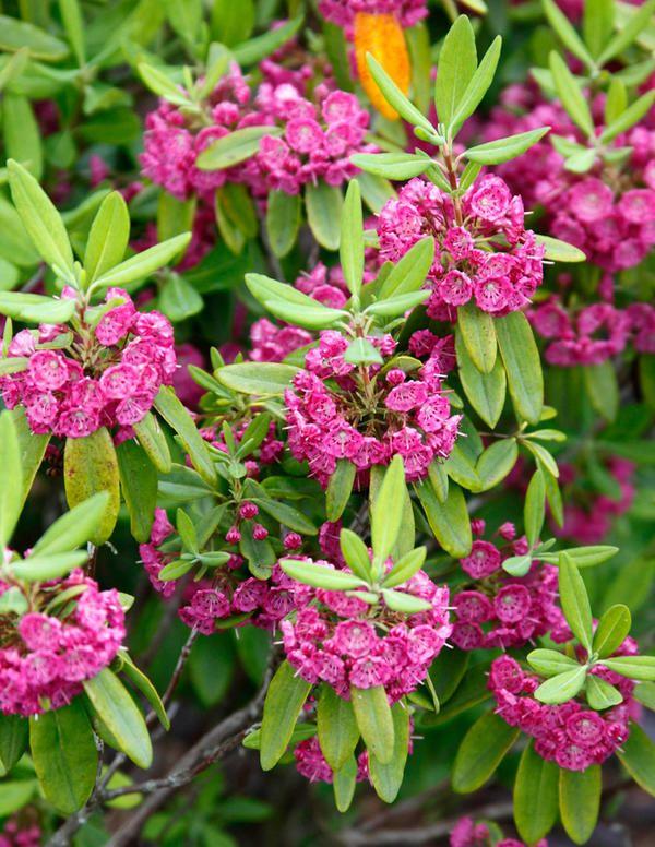 Kapealehtikalmia Rubra Viherpeukalot Oy Puutarhamyymala Netissa Plants Garden Yard