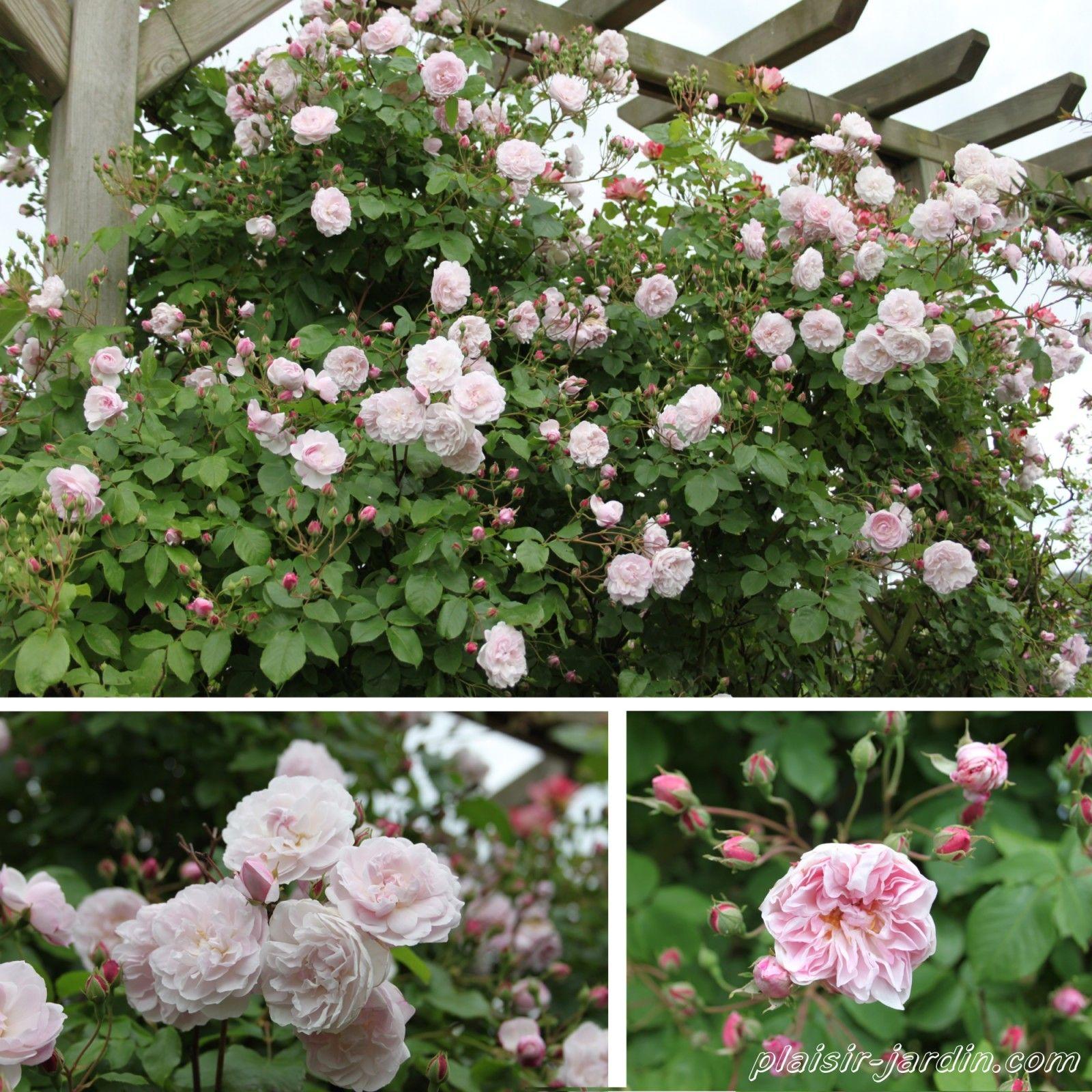 Blush noisette lilas p le 3 5m rosiers sans pines for Decoration jardin rosier