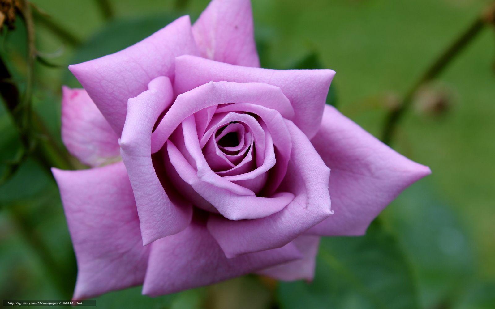 сожалению, красивая сиреневая роза фото выглядит