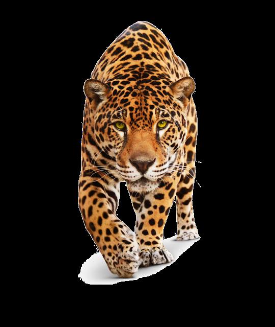 Cheetah Png Leopard Cheetah Free Png Image Jaguar Jaguar Animal Animals