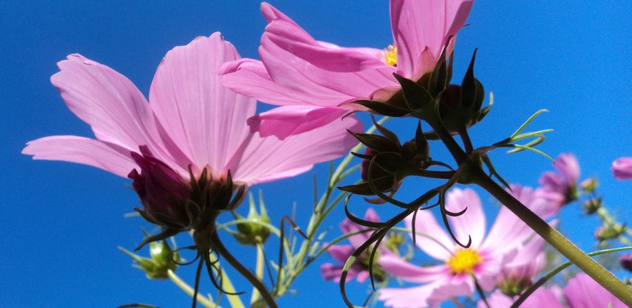 Learn How To Grow Cosmos Flowers In Your Yard Or Meadow Includes Information On Planting Times Seed Spacing Su Cosmos Flowers Meadow Garden Wildflower Seeds