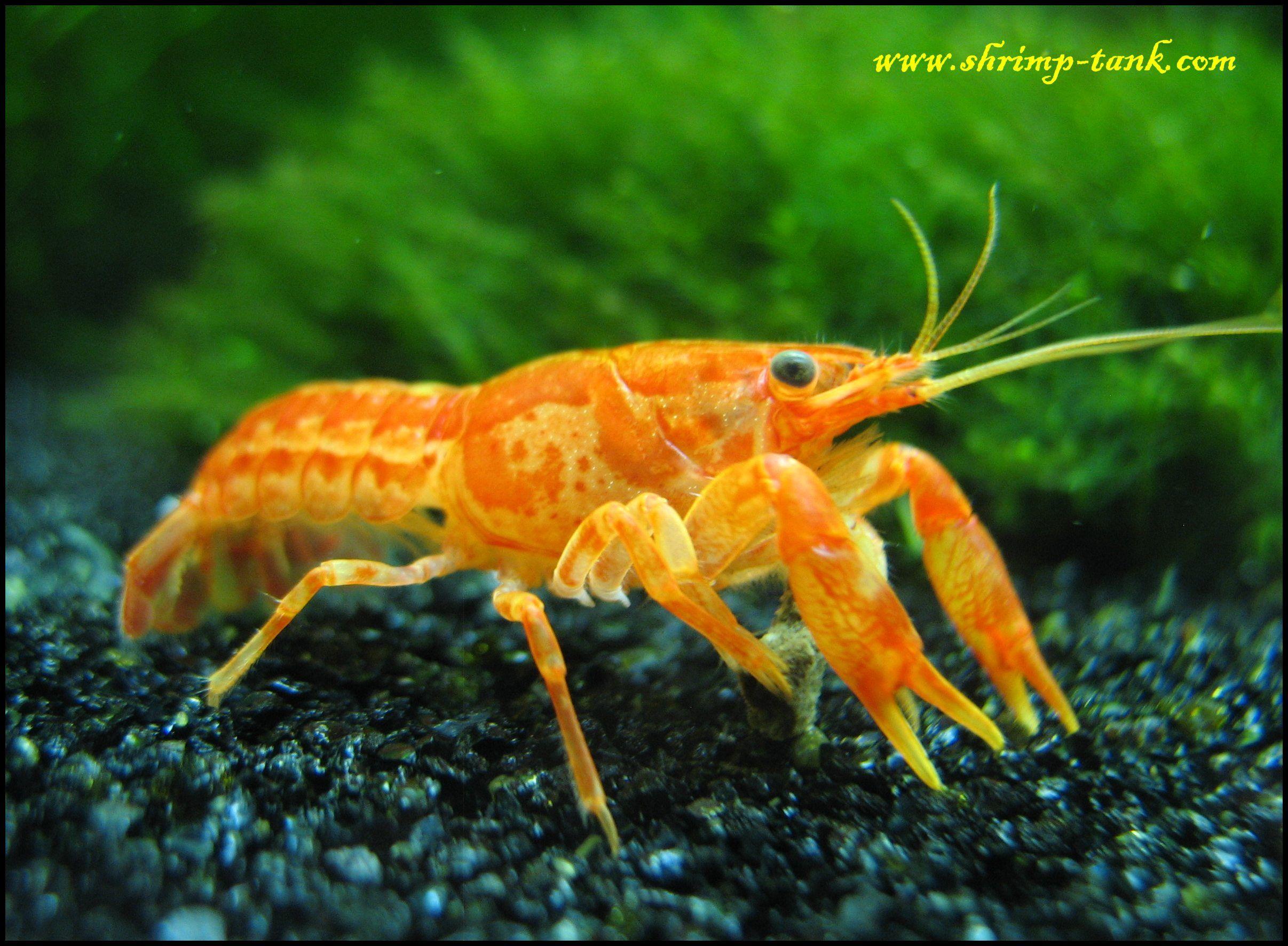 Mexican Orange Dwarf Crayfish Cambarellus patzcuarenis