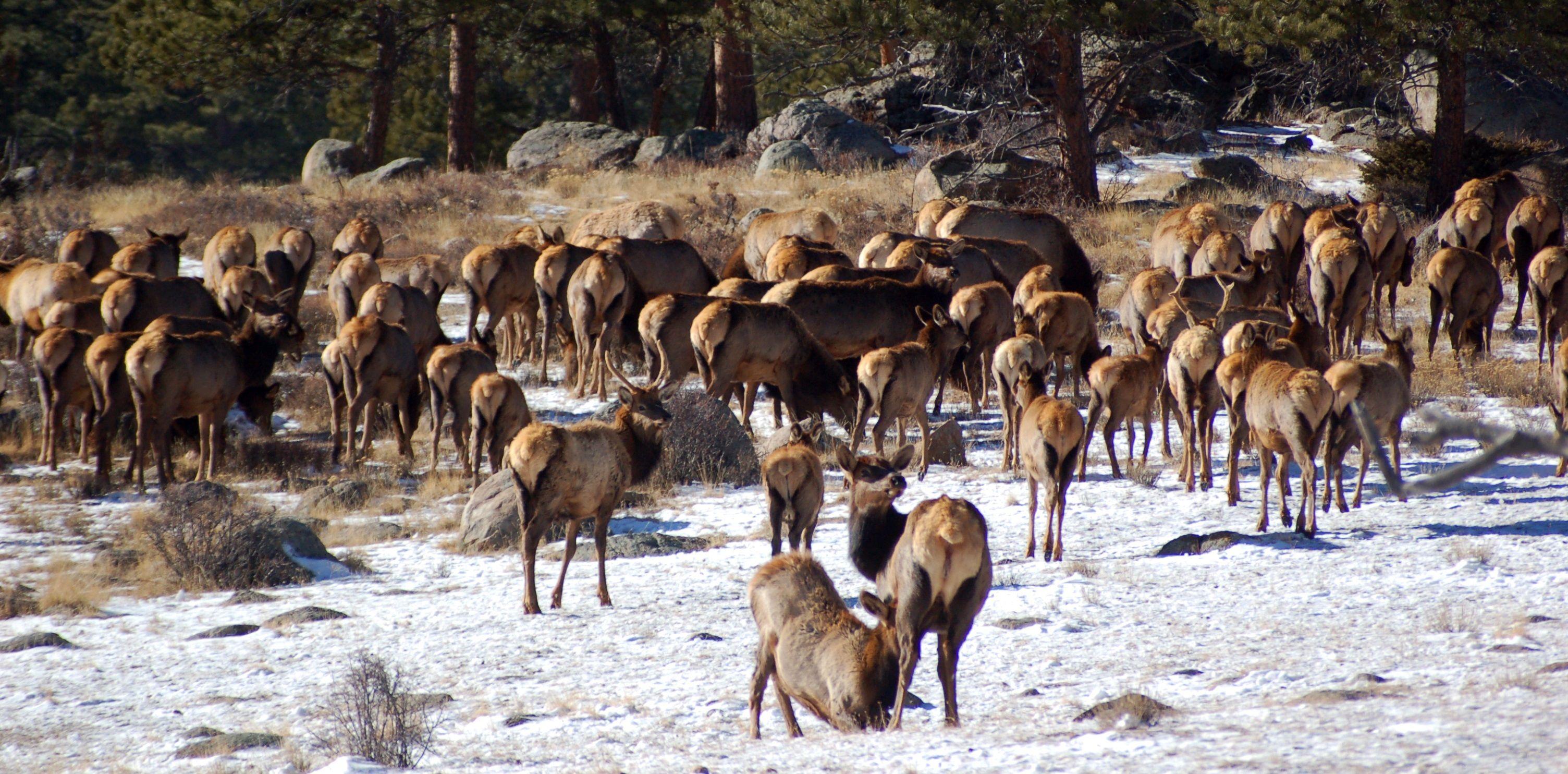 Gang of Elk in Colorado in Winter.