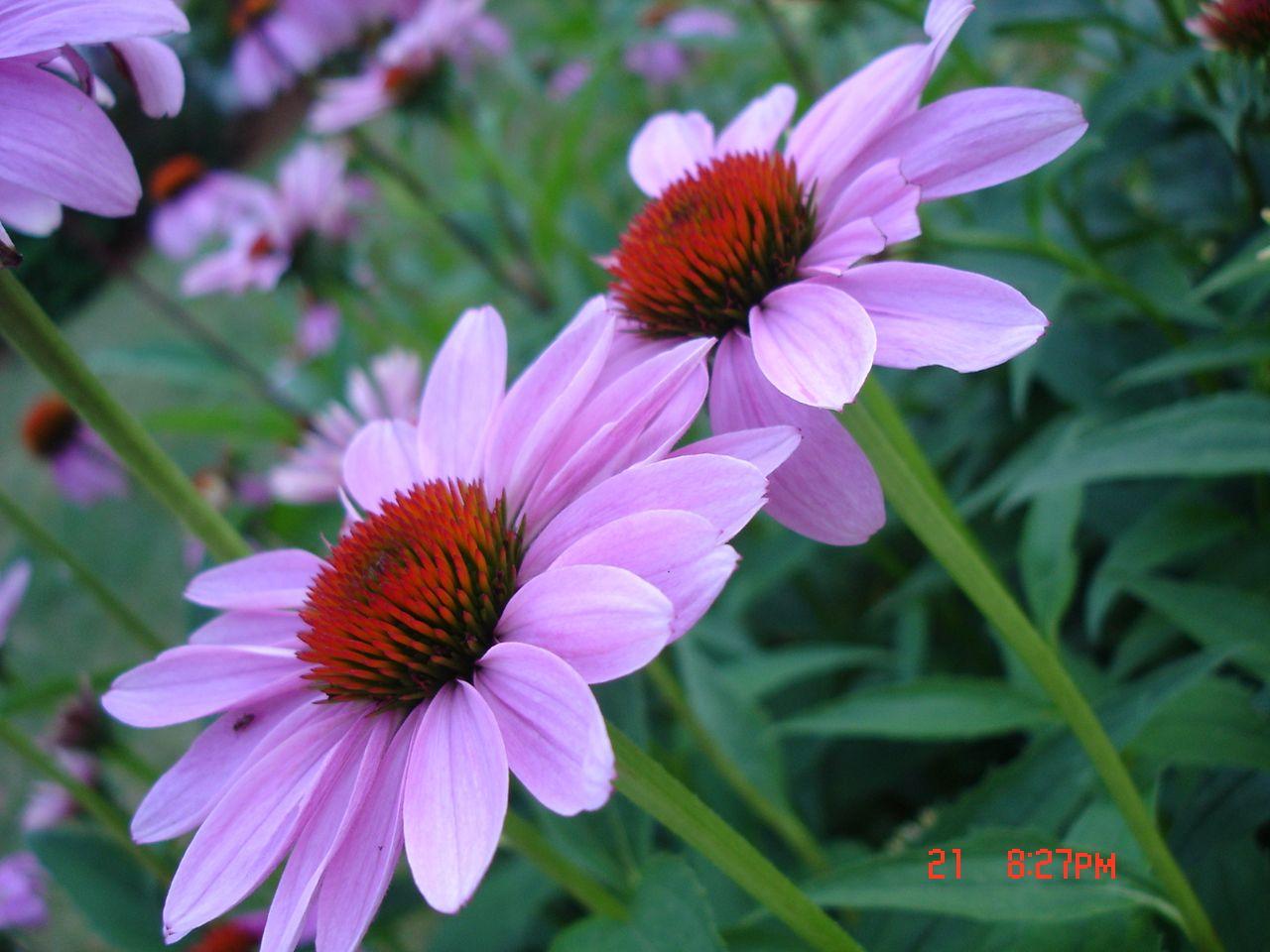 my echinacea