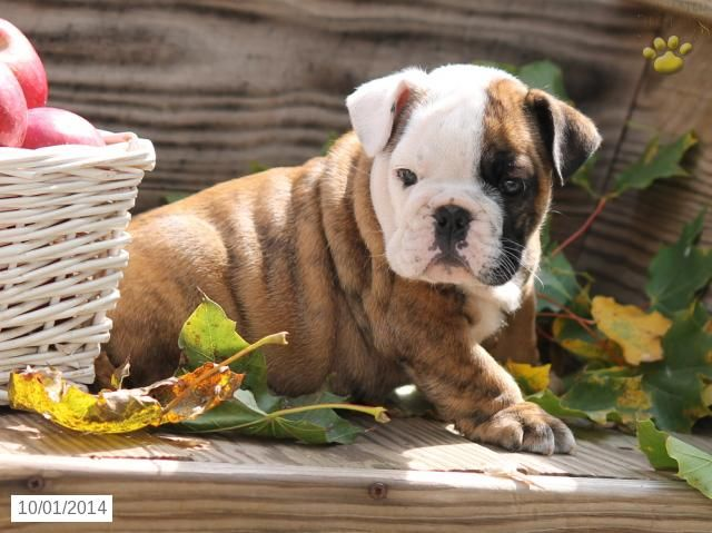 English Bulldog Puppy For Sale In Pennsylvania Bulldog Puppies For Sale English Bulldog Puppy