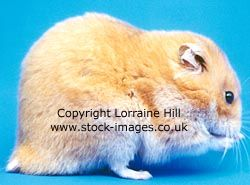 Short Haired Syrian Hamster Click On Image To Find Information