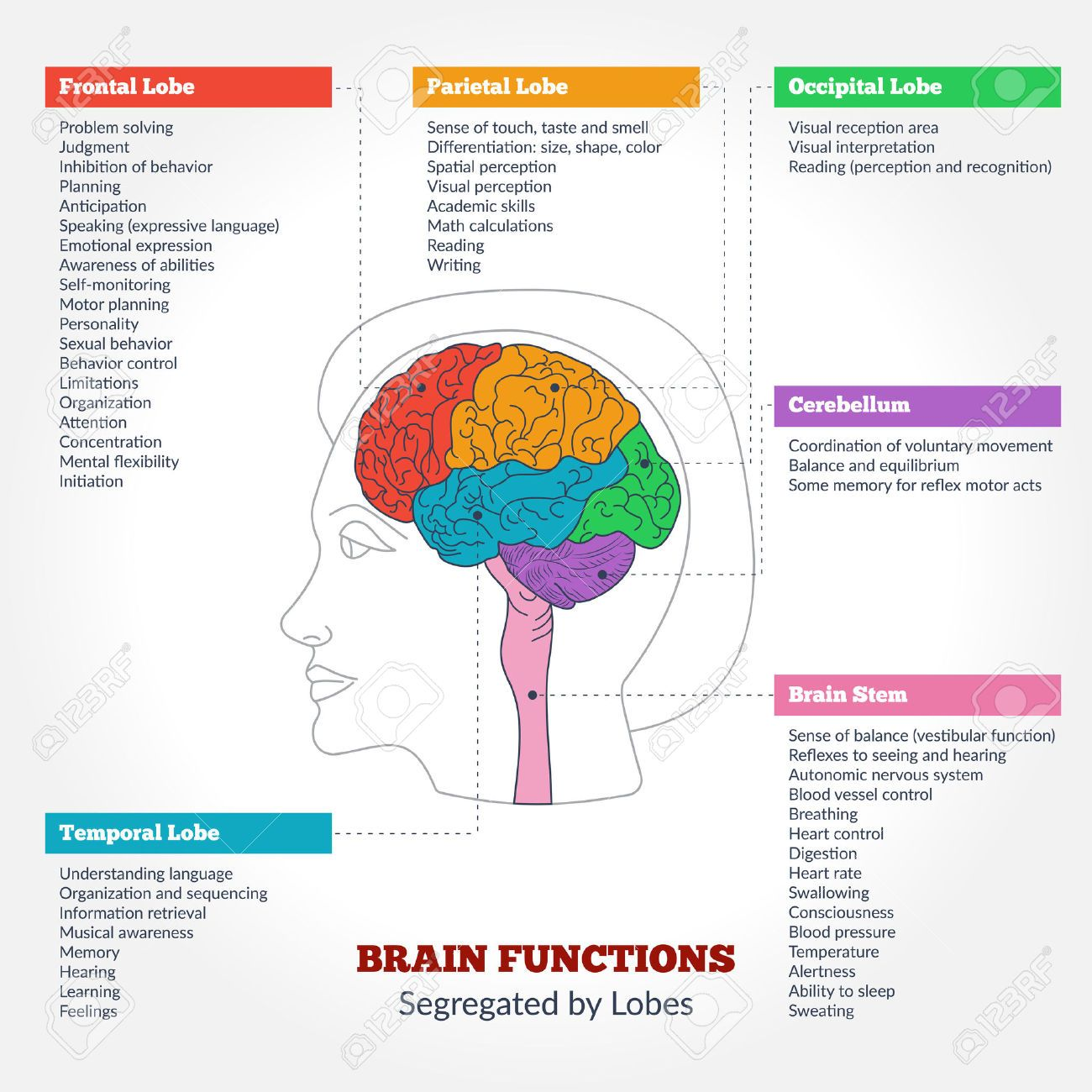Image Result For Brain Structures And Functions Diagram School