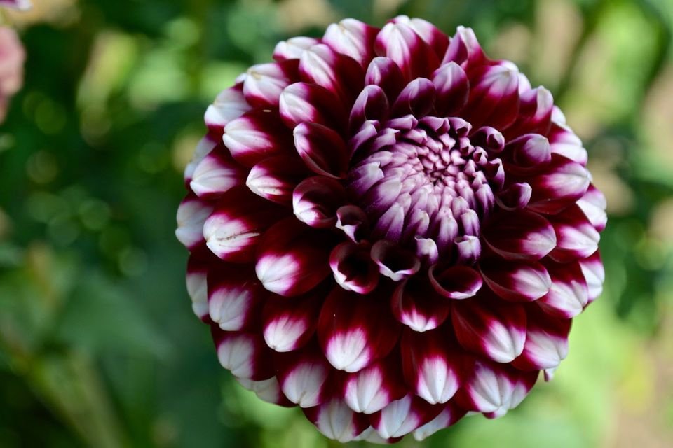 How to grow dahlias in Oregon Advice from 34 years of