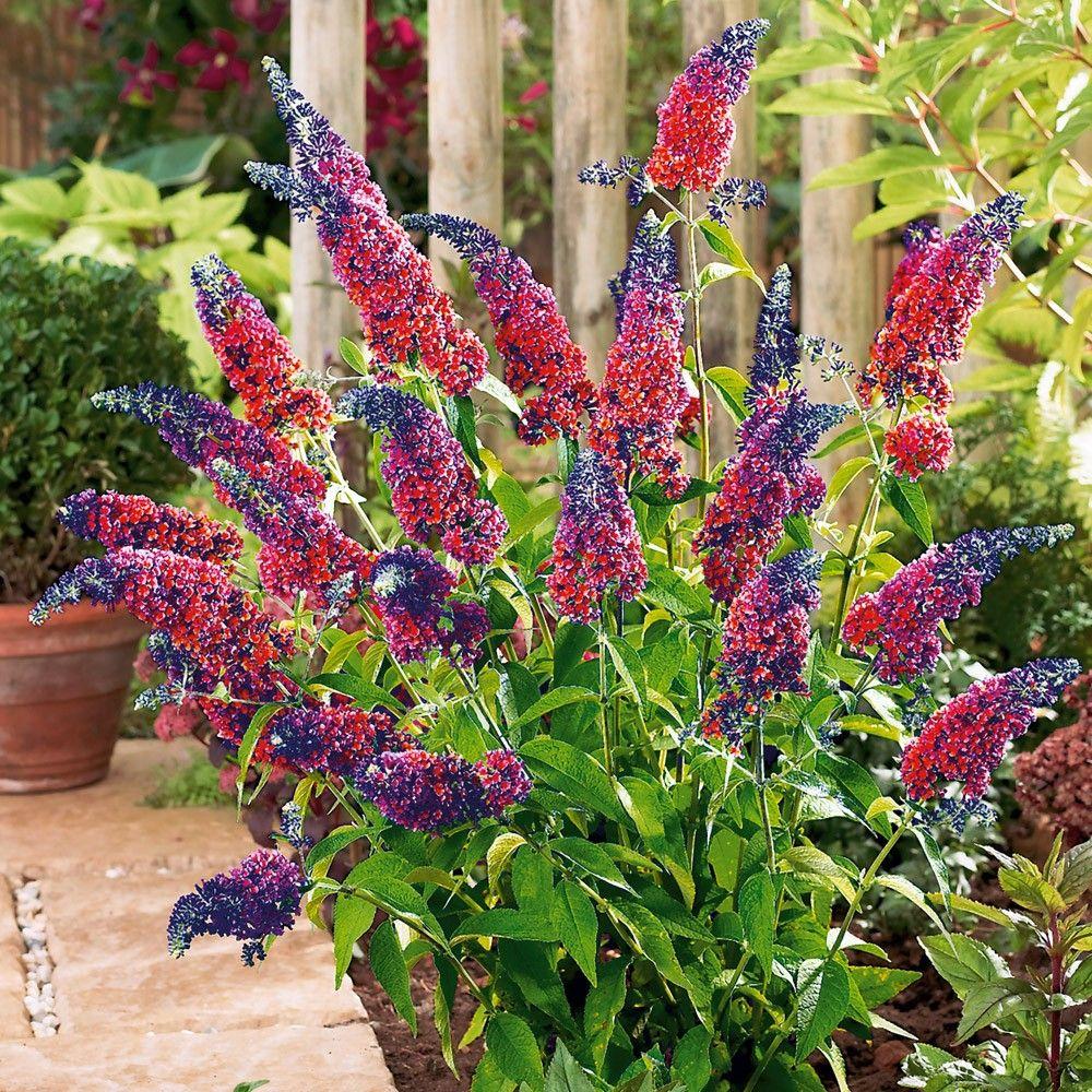 Buddleja Davidii Flower Power Blomsterhave Smukke Blomster Sommerfuglebusk