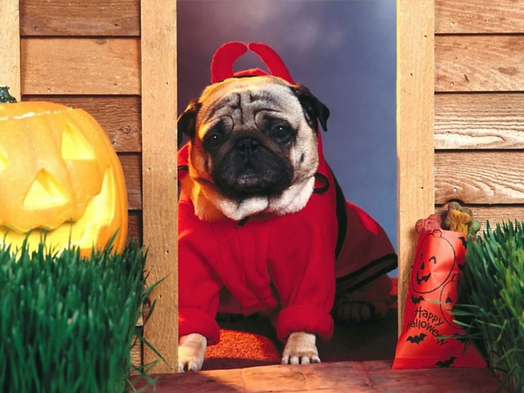 Pug Halloween Wallpaper Screensaver Background Dog Costumes Funny Dog Halloween Funny Cat Wallpaper