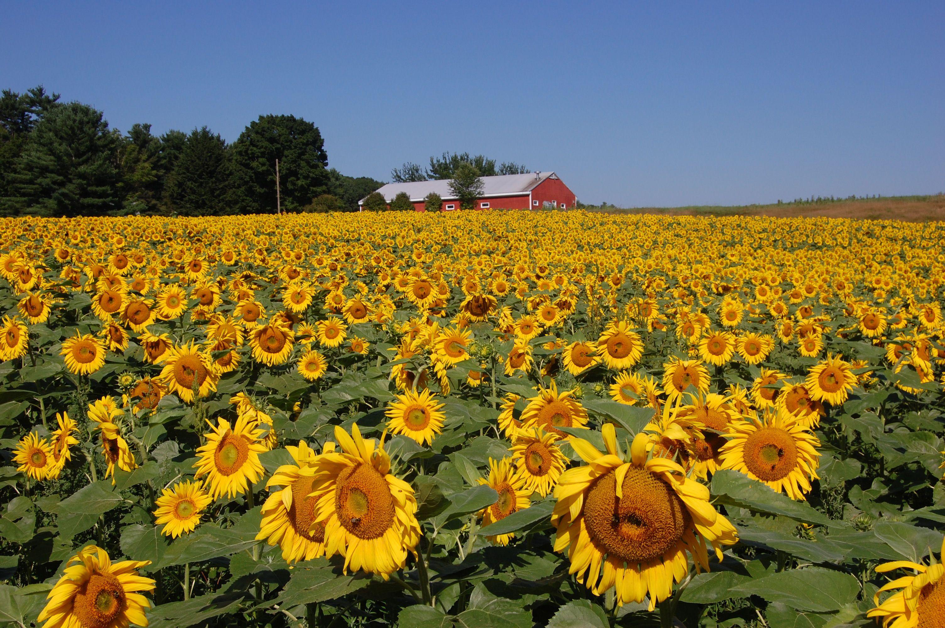 Sunflower field | Photography | Pinterest