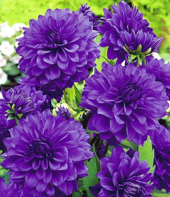 Dahlia Blue Bell Amazing Flowers Beautiful Flowers Purple Flowers
