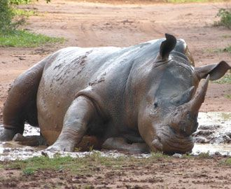 Ziwa Rhino Sanctuary is run by Rhino Fund Uganda, a conservation fund aimed at preserving Uganda's natural beauty and the rhinos' natural habitat.