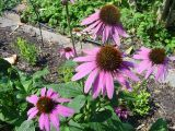 scroll down to harvesting of echinacea