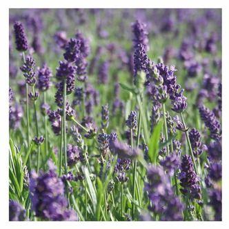 pflanzen bei obi lavendel obi flower power pinterest pflanzen lavendel und blumen. Black Bedroom Furniture Sets. Home Design Ideas