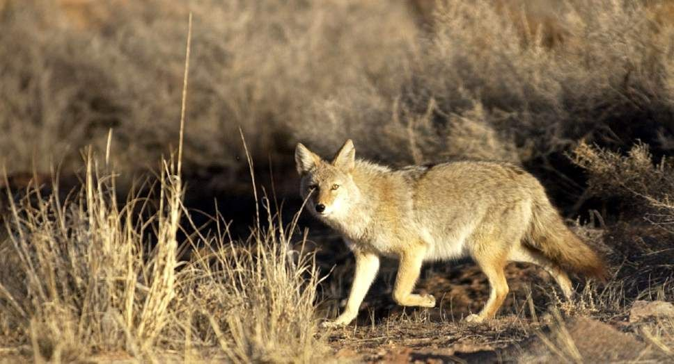 Editorial Why does Utah put a price on coyotes' heads