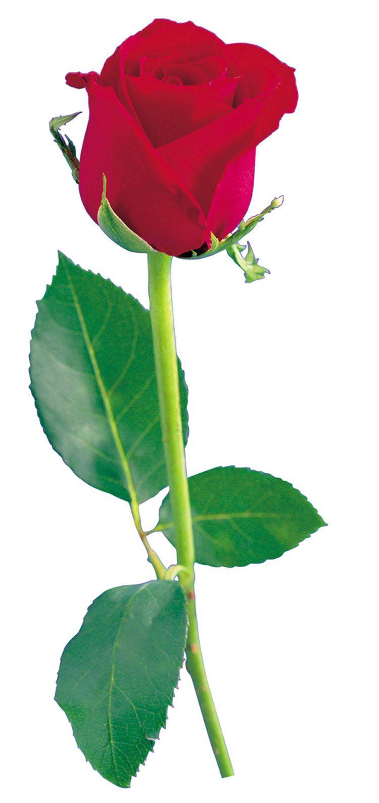 День семьи, открытки цветы розы одиночные