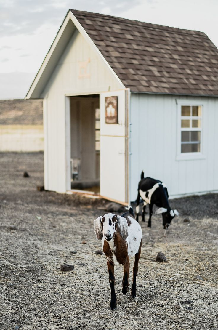 Caring for Goats 15 Things I Wish I Knew Before Getting Goats updated — Boxwood Avenue
