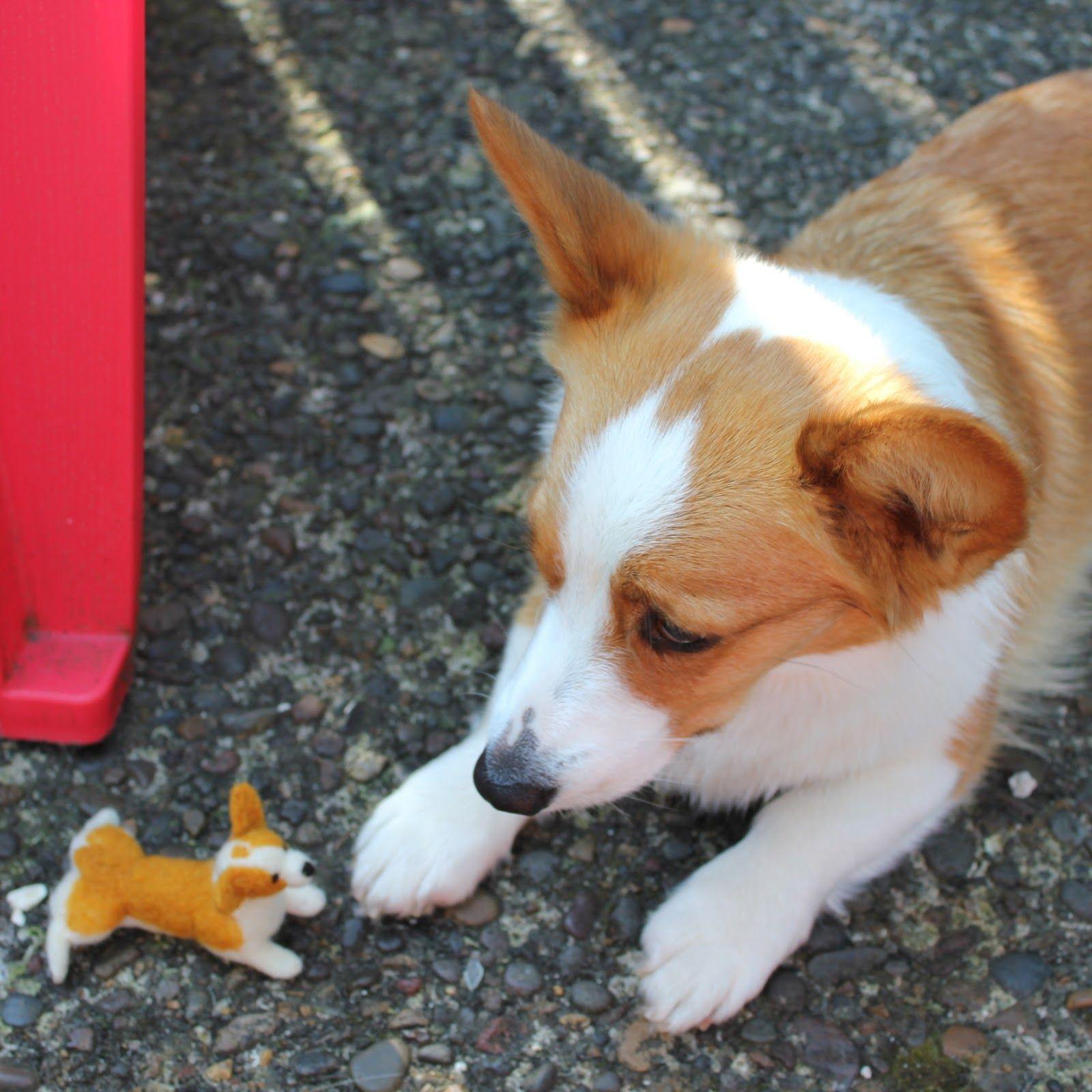 Petite Corgi Google Search Corgi Corgi Dog Corgi Names