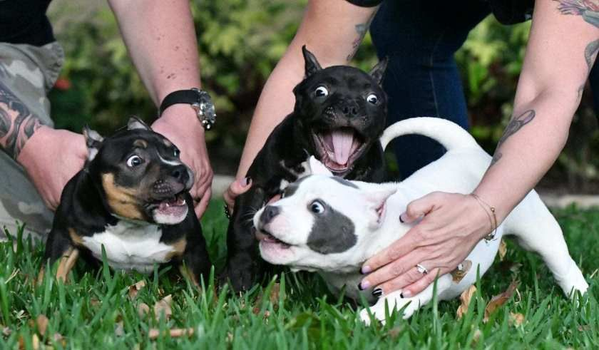 American bully breedings the best pocket bully puppies