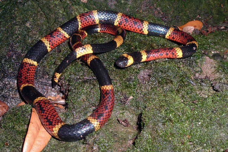 Texas Coral Snake Venomous - don't let them chew on you ...