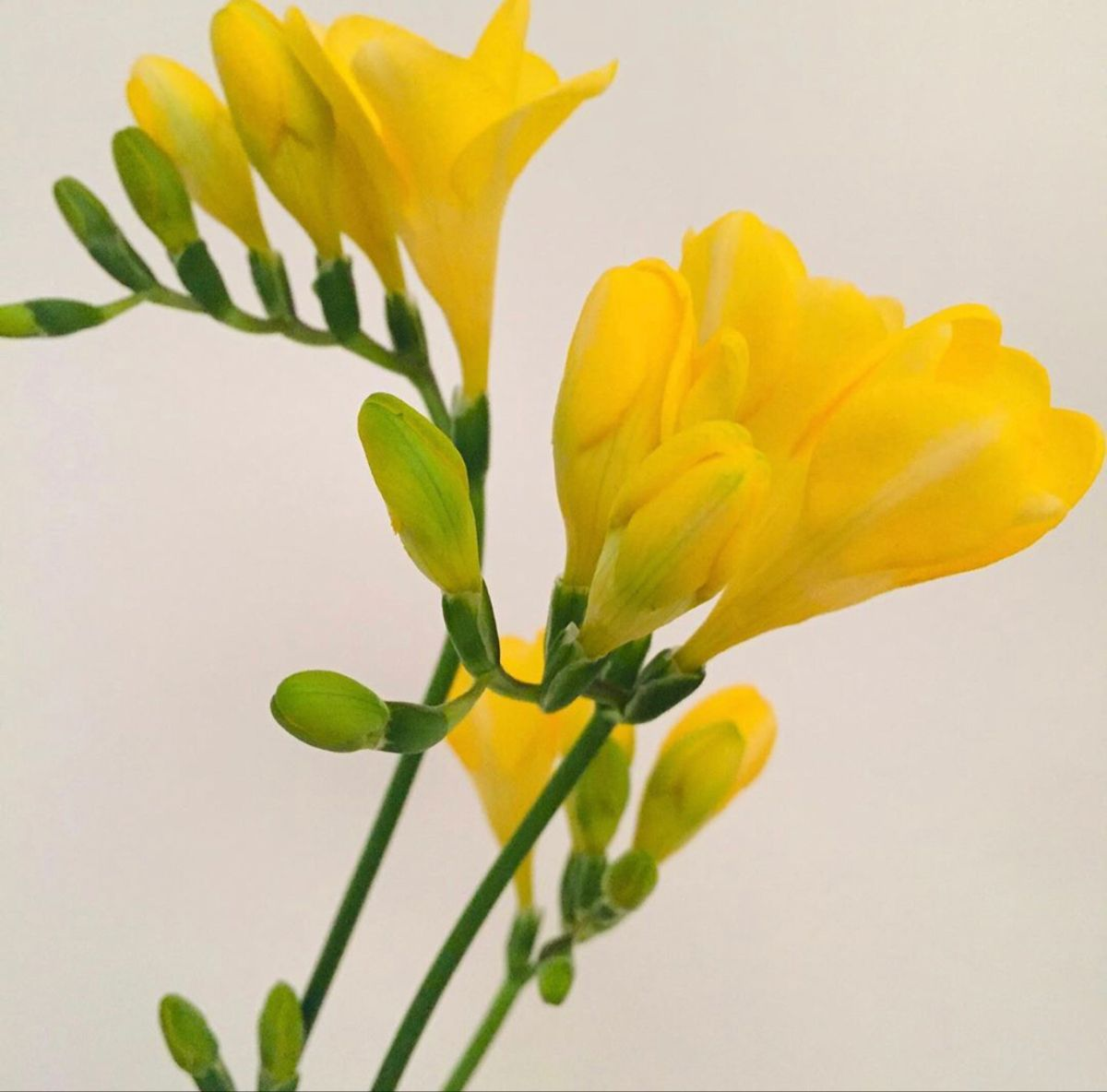 Freesia Flower In 2020 Freesia Flowers Flowers For Sale Wholesale Fresh Flowers