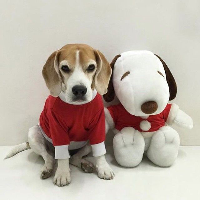 Good Snoopy Beagle Beagle Adorable Dog - 0801b3e584dd85f1afe16aa8ae3d91ee  Pic_26580  .jpg
