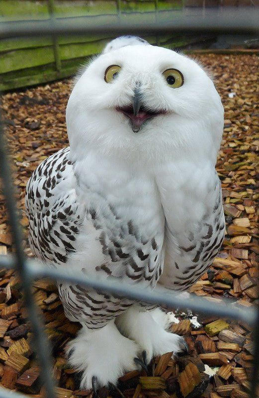 Keeping Owls as Pets Yes Its Legal