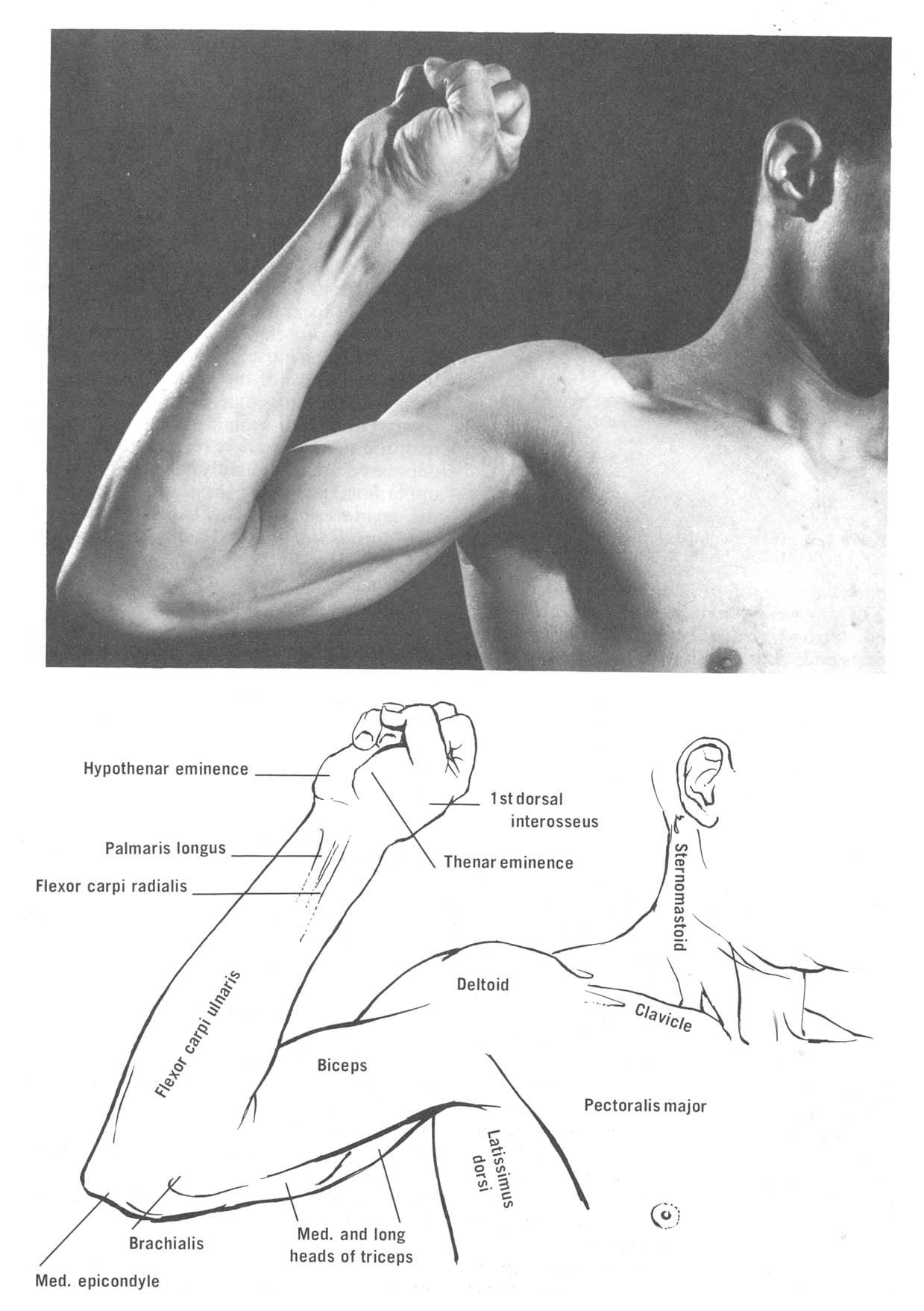 Surface landmarks of the upper limb. (From Royce, J., Surface ...