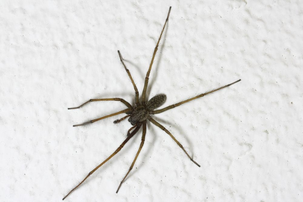 How to  get rid of spiders in your house naturally house
