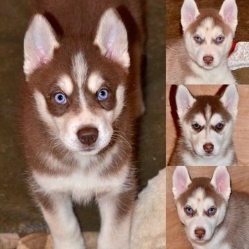 Siberian Husky Puppy For Sale In Auburn Ca Adn 33412 On