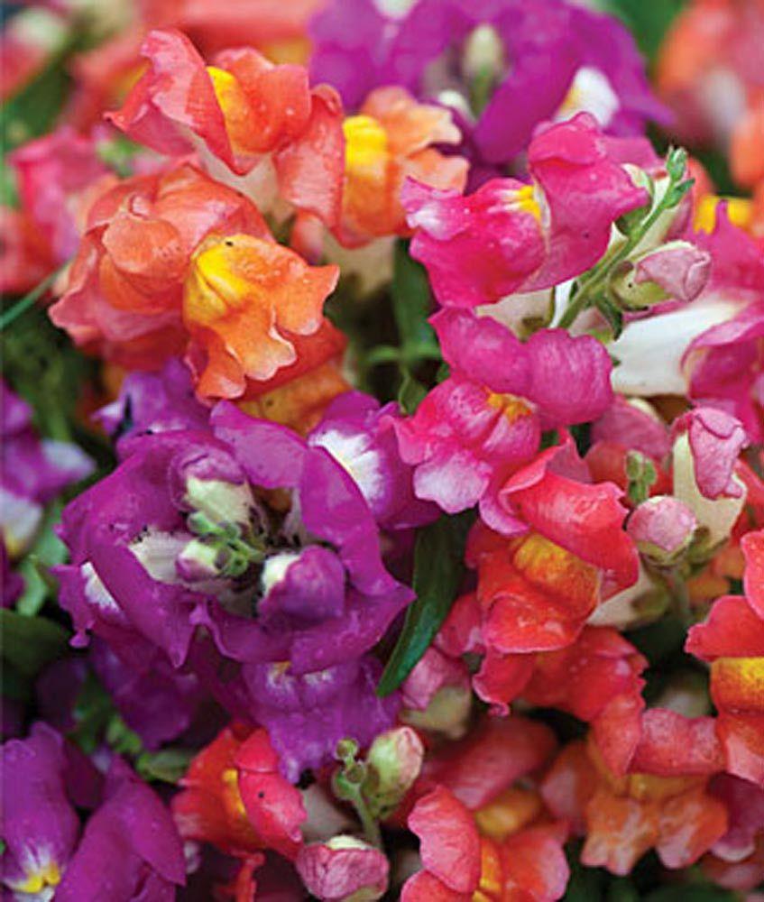 Bulk Snapdragon Flower Seeds Snappy Bicolor Mix
