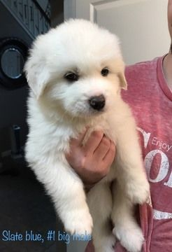 Litter Of 7 Great Pyrenees Puppies For Sale In Elk Grove Ca Adn