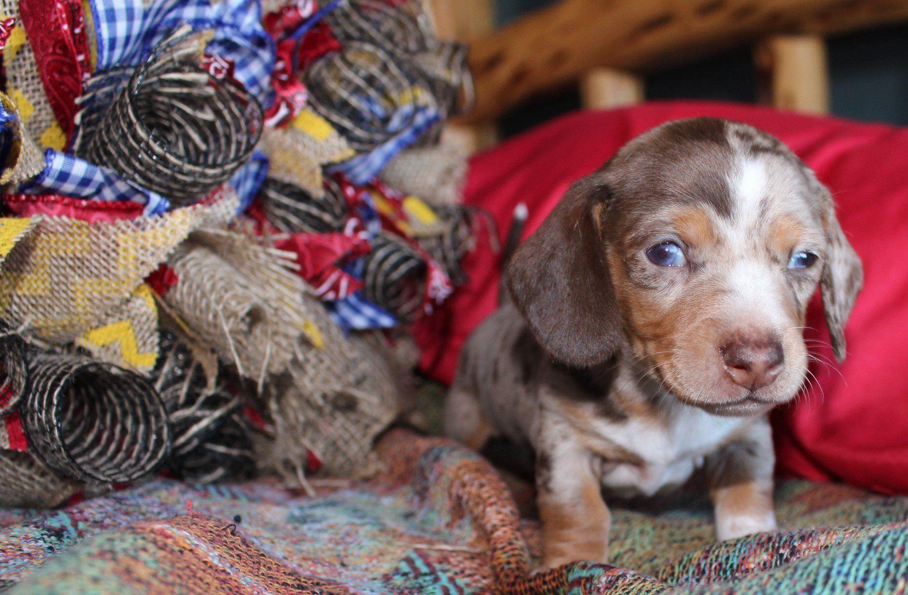Gallery Dachshund puppies for sale, Mini dachshund