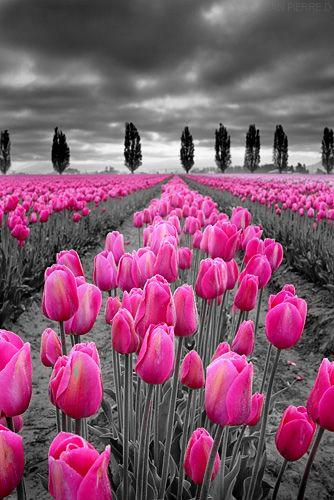 Pin by melissa steed on bw easterspring pinterest flowers plants tulip fieldsfloral flowerswild flowersflowers gardenpretty flowersreal mightylinksfo