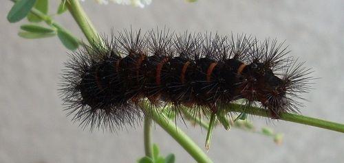 Black Fuzzy Caterpillar Black Fuzzy Caterpillar Fuzzy Caterpillar Black Caterpillar