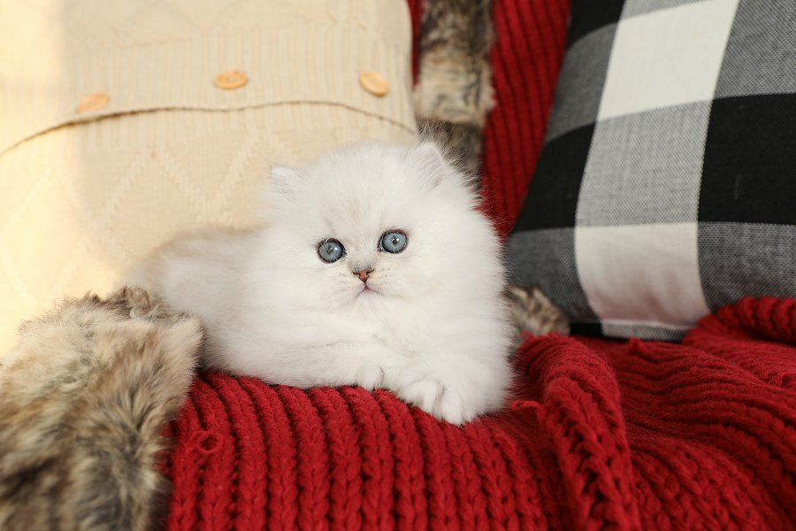 Persian Kittens For Sale Dust Bunny Persian Kittens For Sale Persian Kittens Kitten Adoption