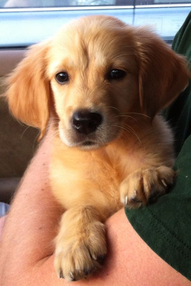 Cutest Golden Retriever Ever Puppy Pictures Cute Dogs