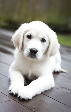 English Cream Golden Retriever Puppies Puppies Cute Dogs Cute