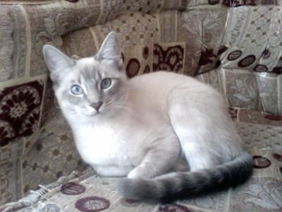 Lynx Point Siamese Cats   Cry Baby, My Lynx Point Siamese ...
