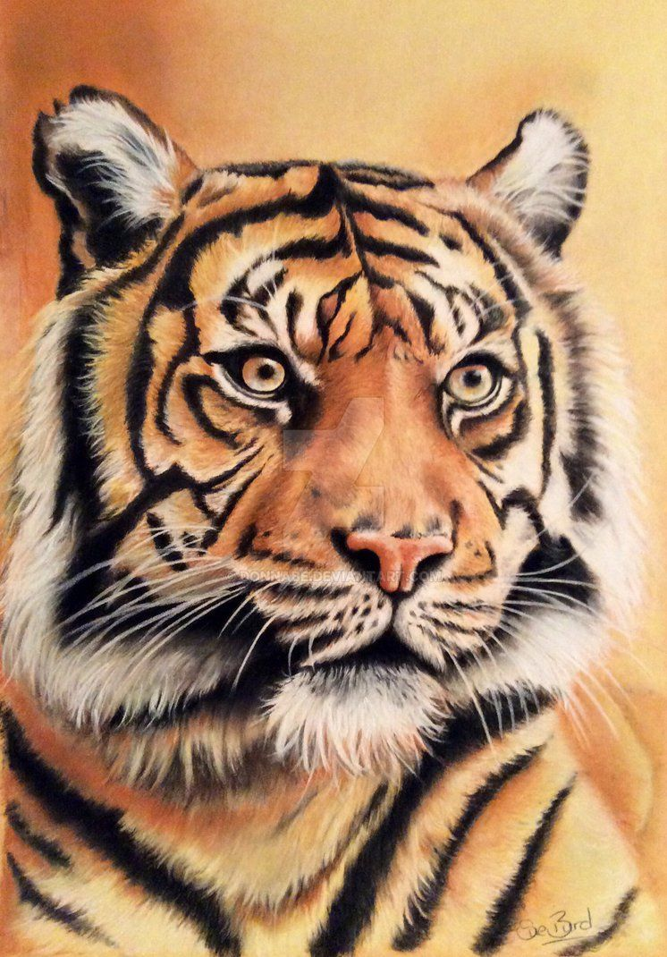 Color Tiger Face Drawing : color, tiger, drawing, Tiger, Pencil, Drawing, Little, Found, Blend, Pencils., Drawing,, Painting,