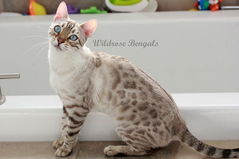 Ava The Snow Charcoal Bengal Cat Coloration Seal Lynx Bengal Cat Bengal Kitten Gorgeous Cats