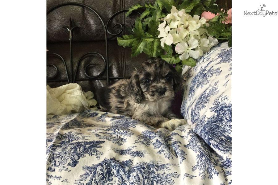 Cocker Spaniel Puppy For Sale Near Sioux City Iowa 4380fb84