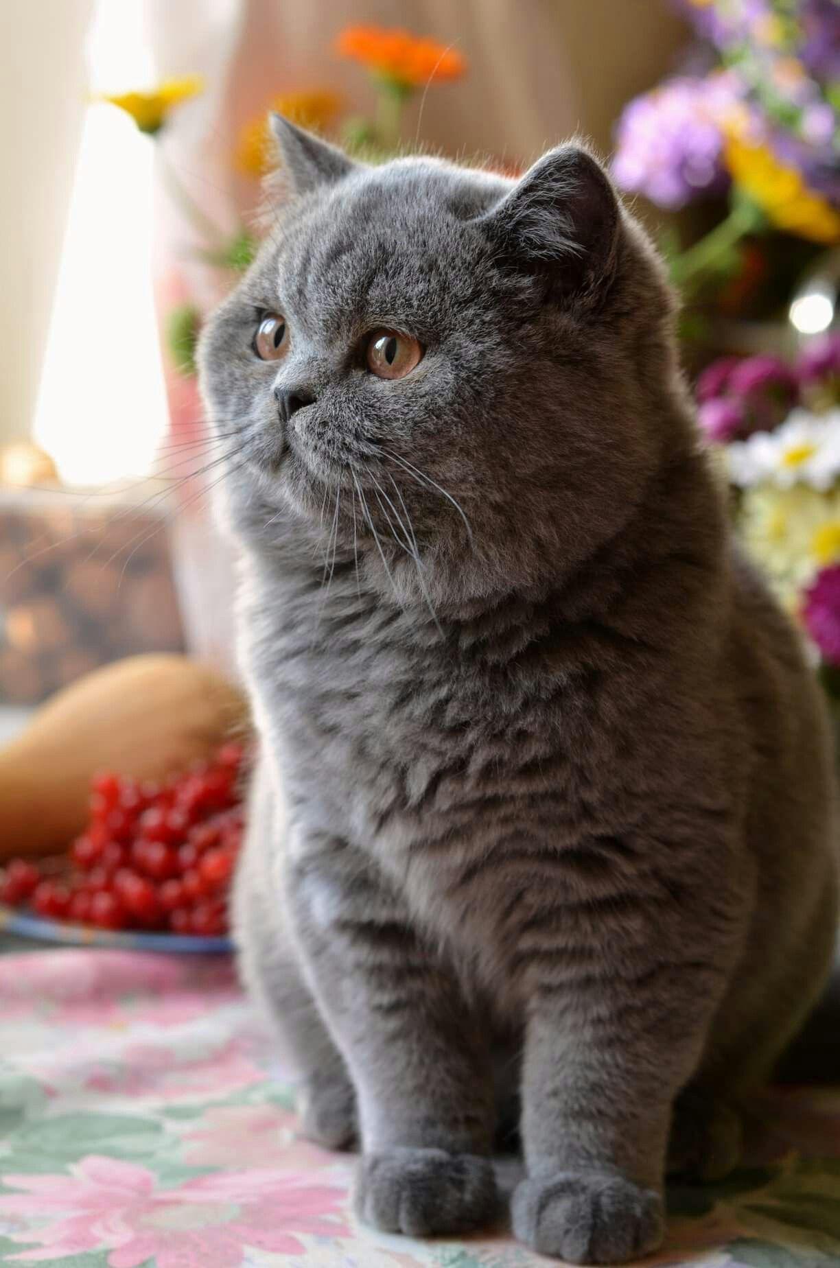 Ua Plusharistocrat Indigo Bsh A Male 3 5 M Cute Cats Gorgeous