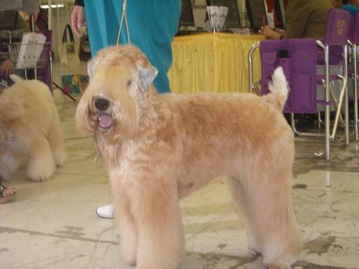 Japanese Terrier Dog
