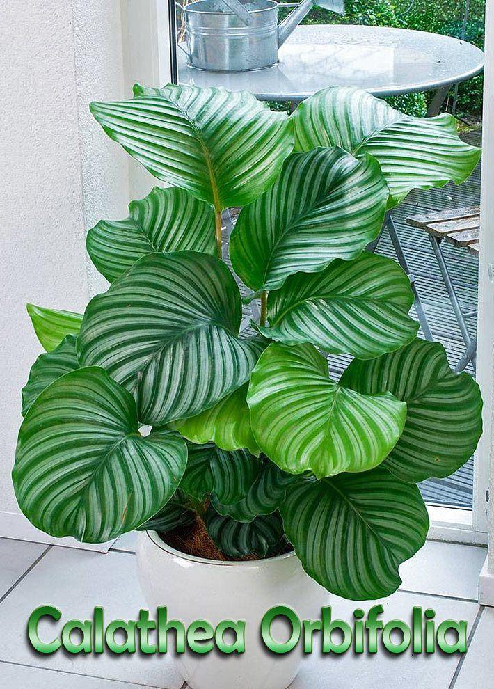 Calathea Orbifolia Is A Very Animated And Decorative Plant 640 x 480